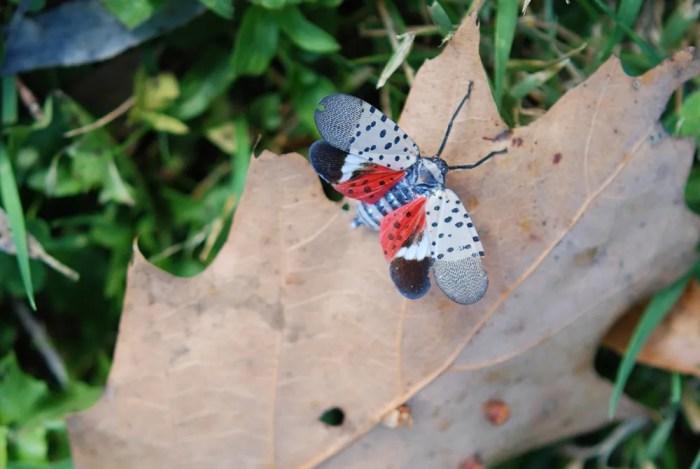 spotted lanternfly on leaf
