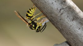 yellowjacket with hydrogel