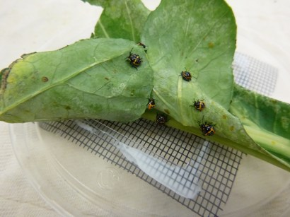 harlequin bugs on collard green leaves