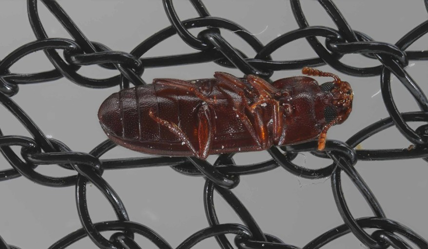 red flour beetle on long-lasting insecticide netting