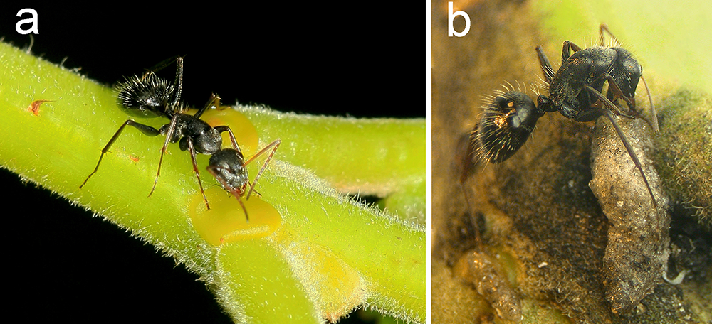Meddling in the Mutualism: Fly Larva Uses Nectar to Lure Ants for Lunch