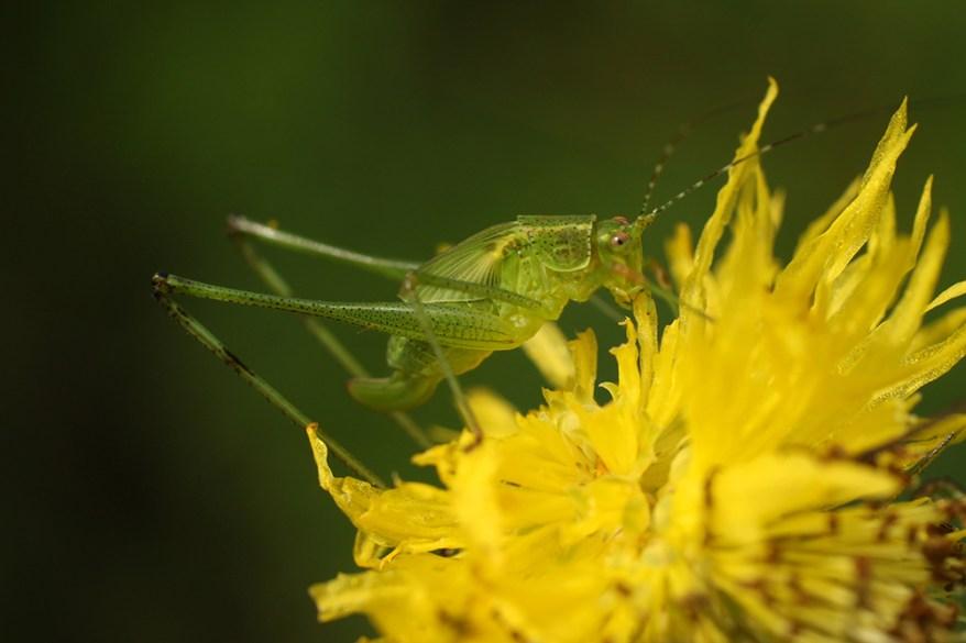 Phaneroptera brevi feeding on Neptunia plena