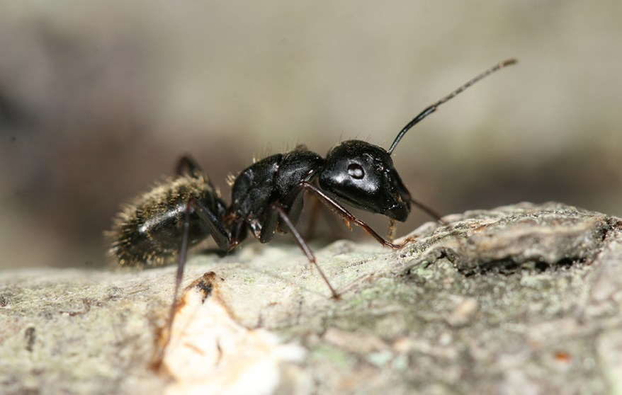 black carpenter ant - Camponotus pennsylvanicus