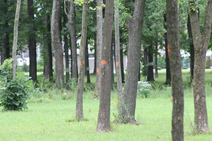 ash trees threatened by emerald ash borer