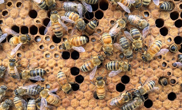honey bees on brood frame