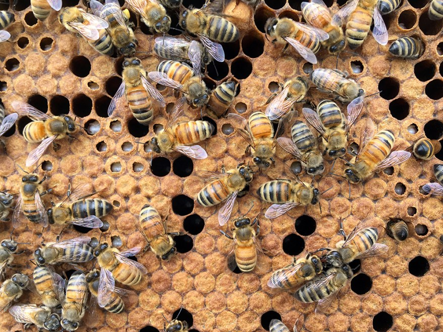 honey bees on brood frame