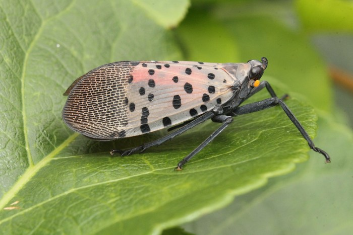 spotted lanternfly adult on leaf