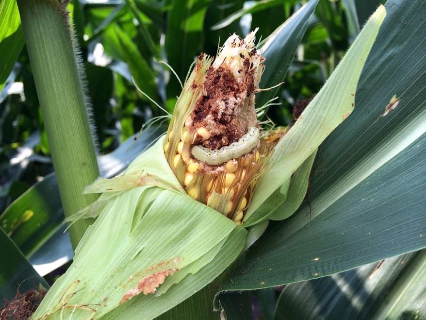 Helicoverpa zea on corn