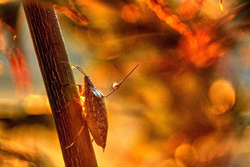 brown marmorated stink bug on twig