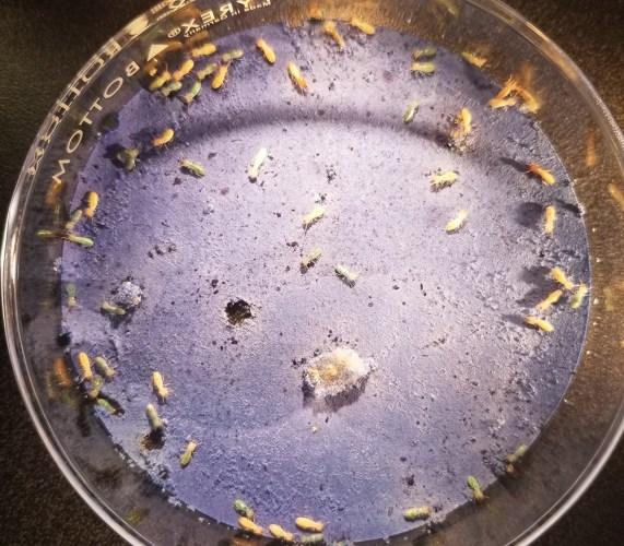 termites in petri dish