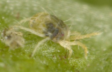 adult female twospotted spider mite