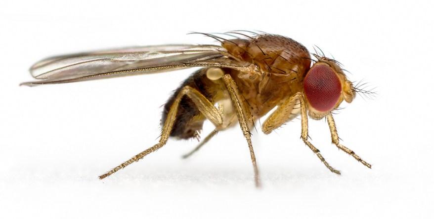 spotted-wing drosophila - Drosophila suzukii 2