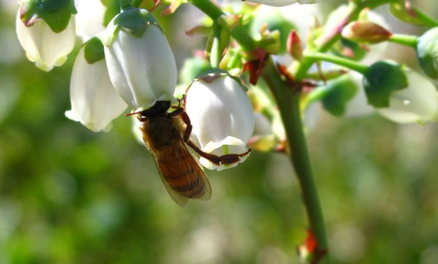 honey bee basitarsi on blueberry stigma
