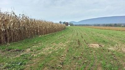 rye cover crop after corn harvest