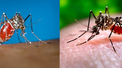 Aedes albopictus and Aedes aegypti