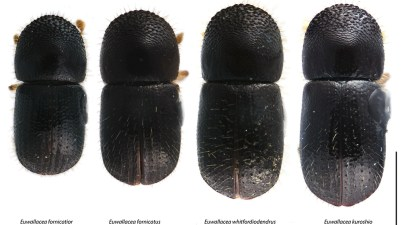 four species of Euwallacea