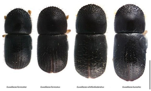 four species of Euwallacea
