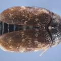 khapra beetle – Trogoderma granarium