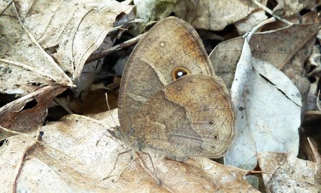 Bicyclus anynana butterfly