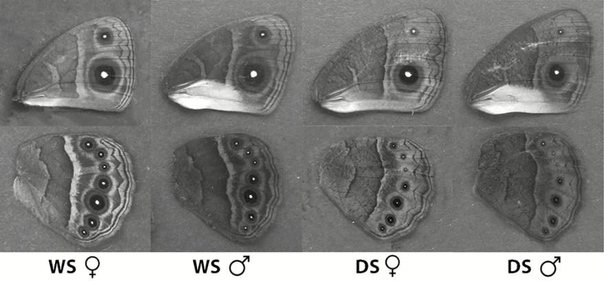 Bicyclus anynana ventral wing patterns