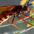 Pacific cicada killer – Sphecius convallis – for social media