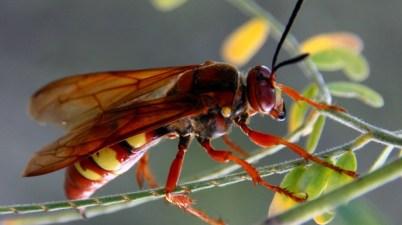 Pacific cicada killer - Sphecius convallis