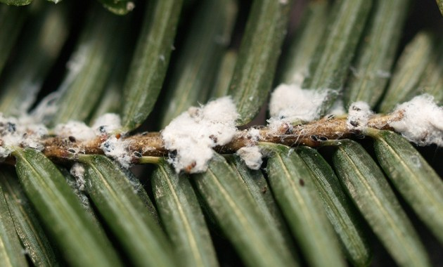 hemlock wooly adelgid on branch
