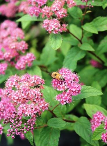 honey bee on Spiraea