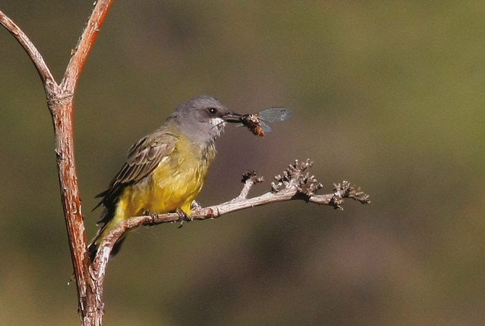 kingbird with cicada