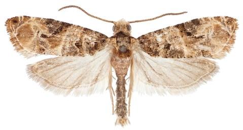 European grapevine moth - Lobesia botrana (pinned)
