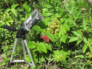 time-lapse camera by Rhus michauxii