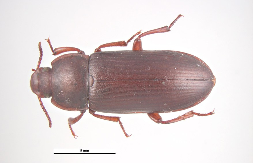 yellow mealworm - Tenebrio molitor - adult