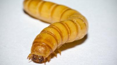 yellow mealworm - Tenebrio molitor - larva