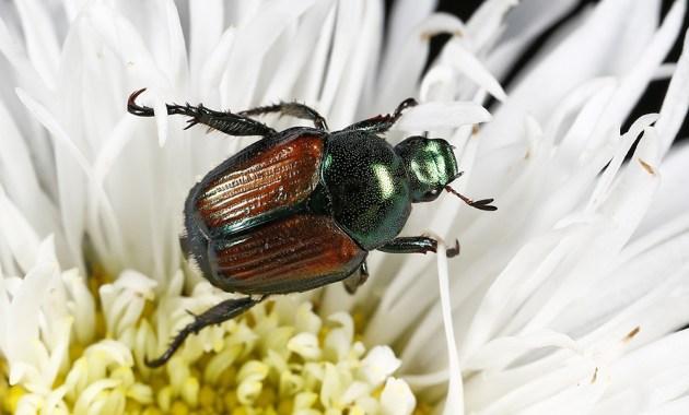 Japanese beetle - Popillia japonica