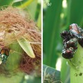 Japanese beetle infestation on corn silk – early and severe