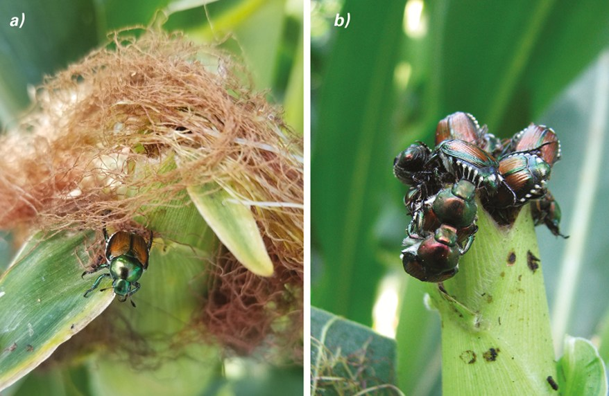 Japanese beetle infestation on corn silk - early and severe