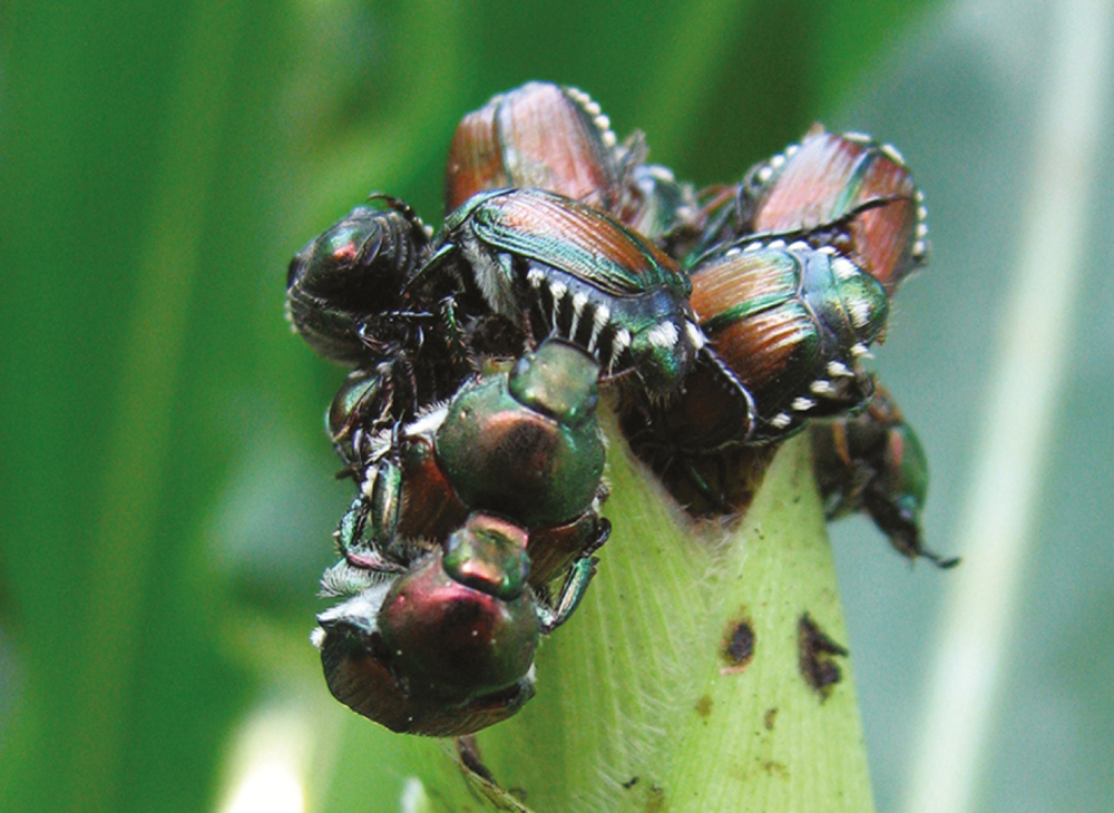 new guide offers ipm tips for japanese beetles in soy and corn