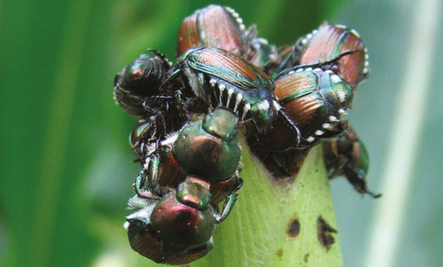 Japanese beetle infestation on corn silk