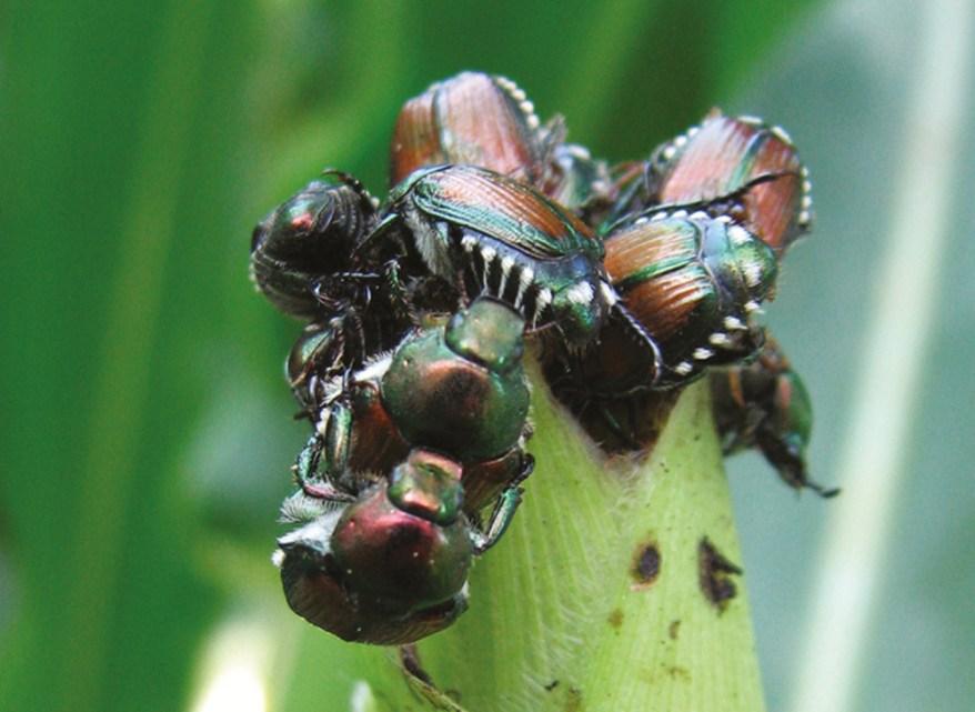 Japanese beetle infestation on corn silk