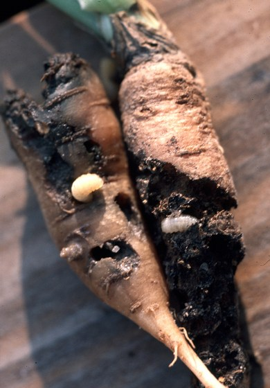 carrot damage by carrot weevil larvae