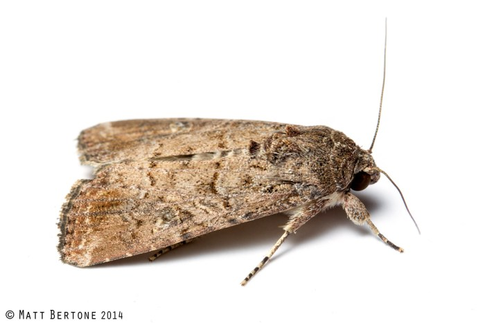fall armyworm adult - Spodoptera frugiperda