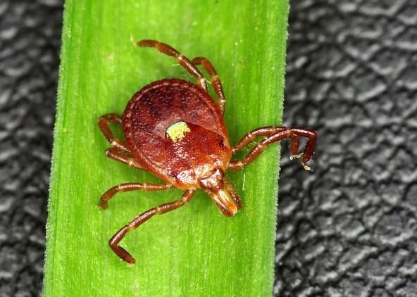 Lone star tick - Amblyomma americanum - female