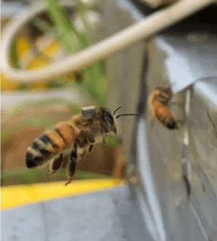 Bee with RFID tag