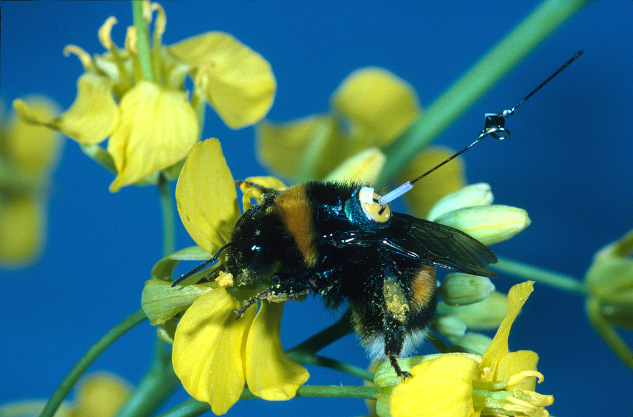 bumble bee with transponder