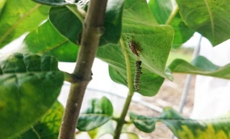 monarch predation
