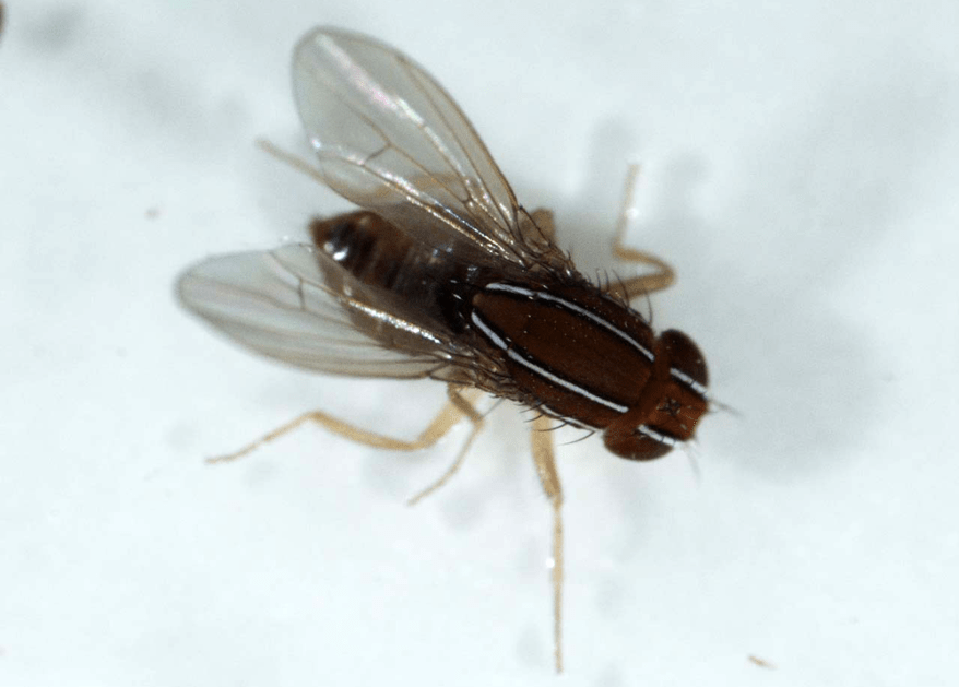 African fig fly - Zaprionus indianus