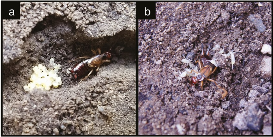 European Earwig: Fruit Pest, Potential Ally, or Both?