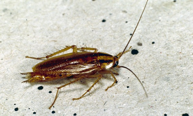 German cockroach - Blattella germanica