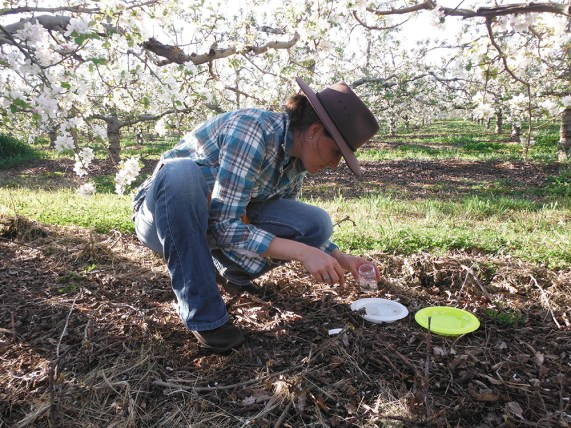 Manu Saunders insect sampling in apple orchard