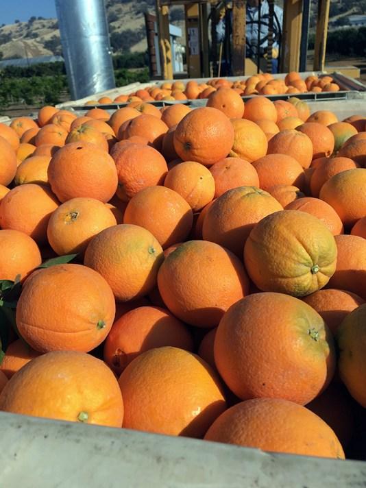 mandarin harvest bin